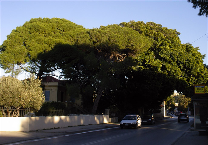 Ficus magnoliae and pine trees on the road to Kremasti