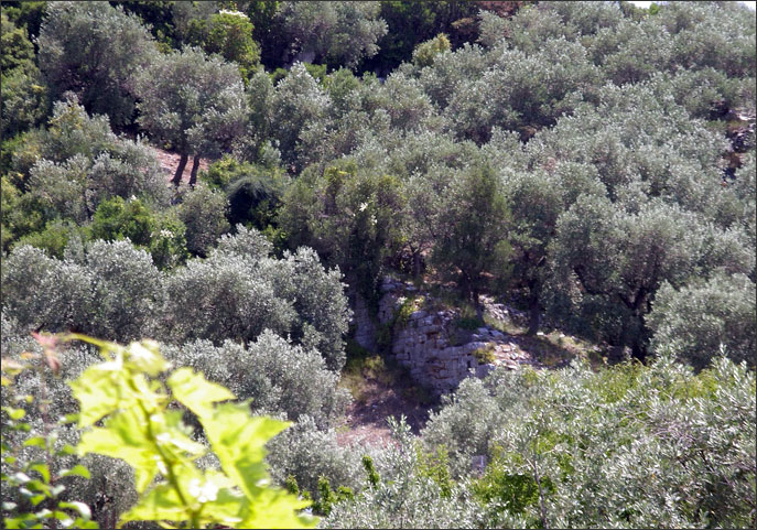 Walls of ancient Panormos amid olives